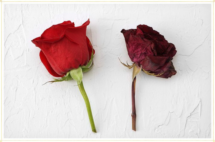 comparison of live rose to dried rose.